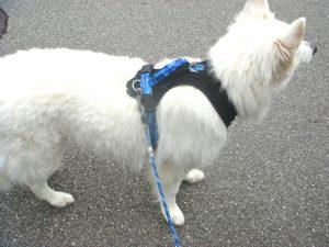 Lauftraining mit dem Hund - Brustgeschirr